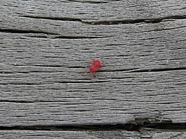 acaro del terciopelo araña roja codaplaga