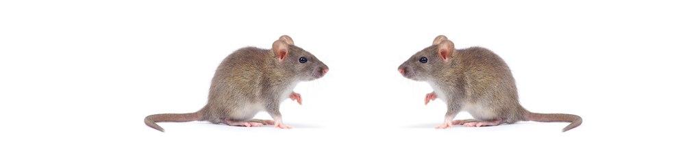 ratones-codaplaga
