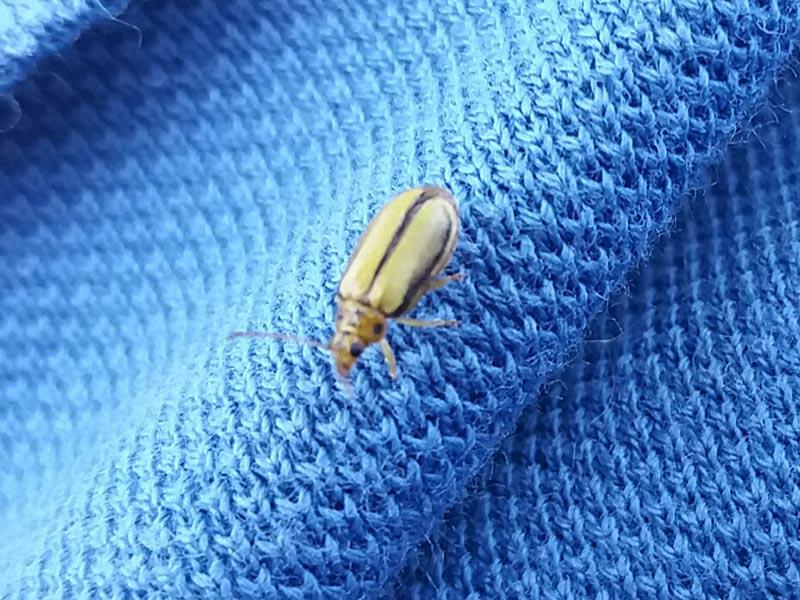 Escarabajo del olmo